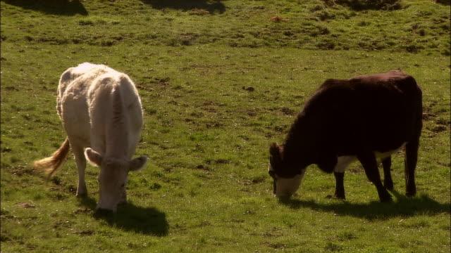 cows grazing in field / rotorua, new zealand - rotorua stock videos and b-roll footage