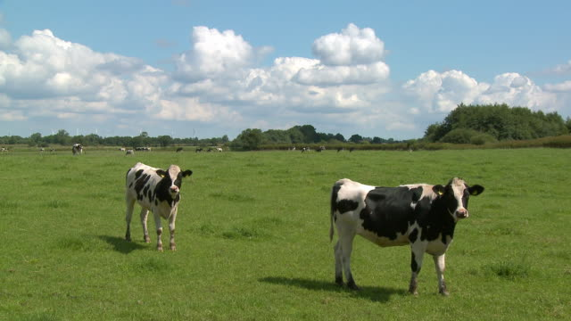 ws, cows grazing in field, schleswig holstein, germany - domestic cattle stock videos & royalty-free footage