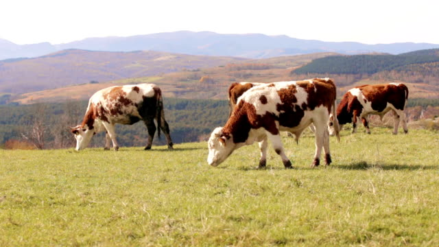 Cows grazing in high mountain landscape