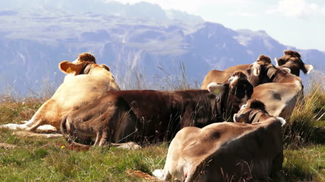 cows grazing in high mountain pasture cinemagraph - small group of animals stock videos & royalty-free footage