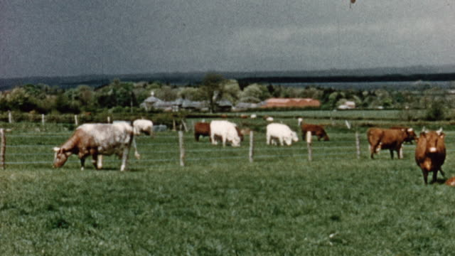 1956 montage cows grazing in pasture and standing in stable / northern ireland, united kingdom - pasture stock-videos und b-roll-filmmaterial