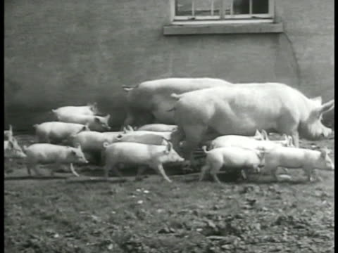 Cows grazing in pasture Hog sow pigs piglets walking next to building piglets in trough INT MEAT PACKING Butchers gutting hanging pig carcasses...