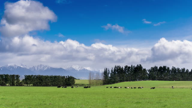 Cows Grazing in Picturesque Green Field - Time Lapse