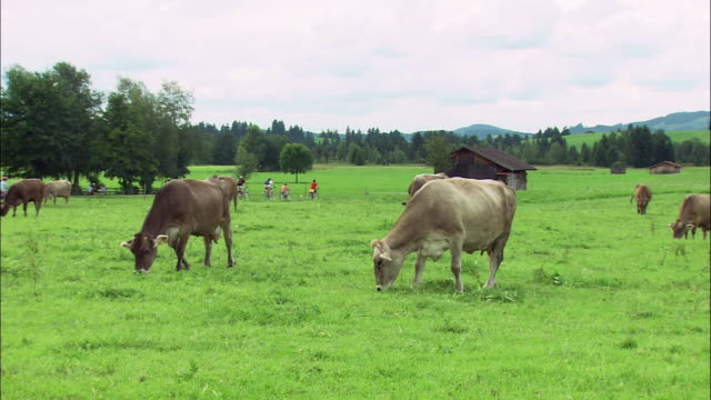vídeos de stock, filmes e b-roll de ms cows grazing in rural landscape, bavaria, germany - pasture