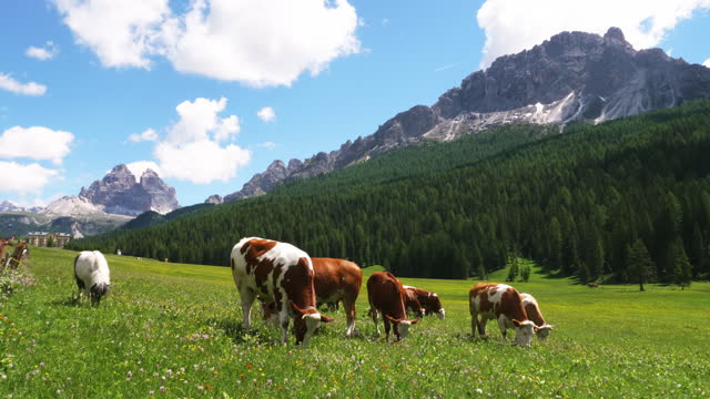 cows grazing in the meadow near tre cime di lavaredo (three peaks of lavaredo) in dolomites (part of southern limestone alps) / italy - beta djurbeteende bildbanksvideor och videomaterial från bakom kulisserna