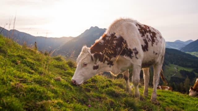 kühe auf einer weide in hochgebirgslandschaft - hausrind stock-videos und b-roll-filmmaterial