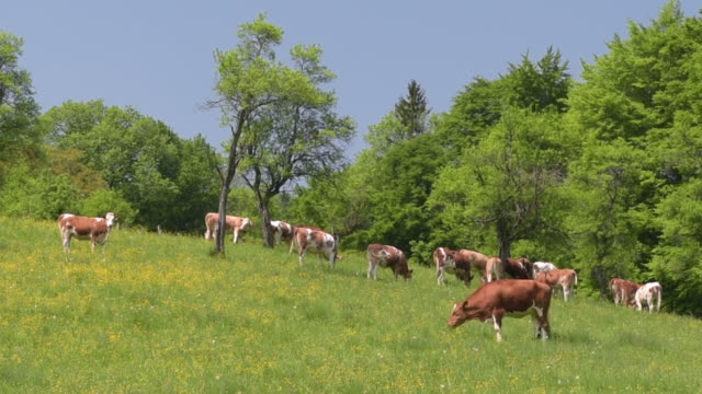 Cows grazing on buttercup meadow