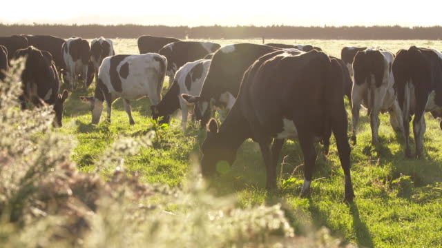 cows grazing on dairy farm in early morning - milk cow stock videos & royalty-free footage