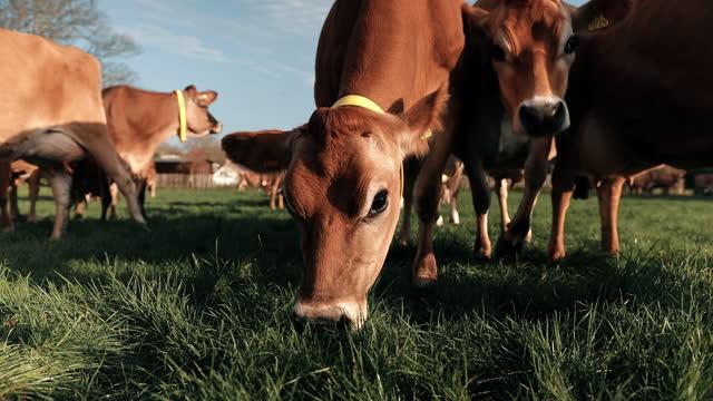 cows grazing on dairy farm - beta djurbeteende bildbanksvideor och videomaterial från bakom kulisserna