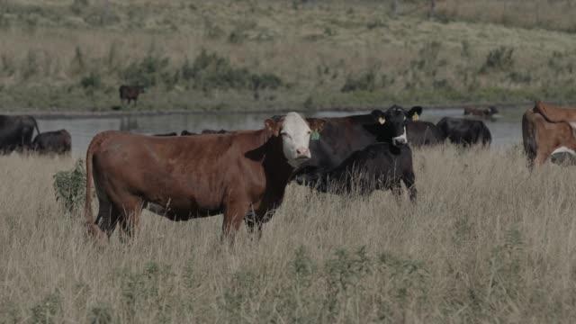 Cows grazing on field