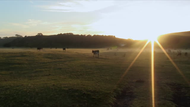 WS Cows grazing on foggy field at sunrise, Mimiwhangata, New Zealand