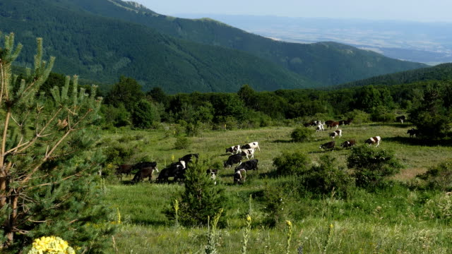 cows grazing on high mountain pasture - bulgaria video stock e b–roll