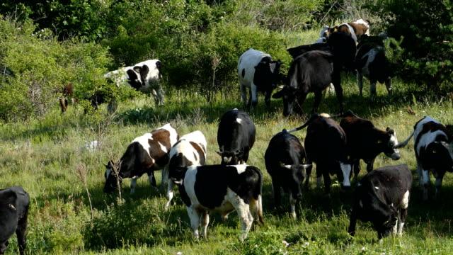 vídeos de stock, filmes e b-roll de as vacas pastando no alto da montanha pasture - bulgária