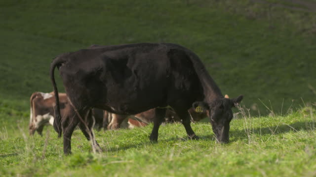 cows grazing on hilly dairy farm in bay of plenty, new zealand. - pasture stock videos & royalty-free footage