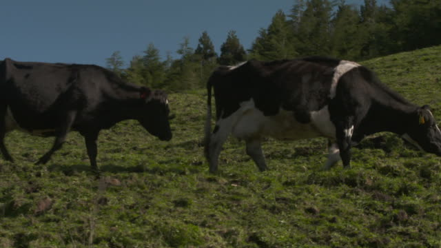 cows grazing on hilly dairy farm in bay of plenty, new zealand - milk cow stock videos & royalty-free footage