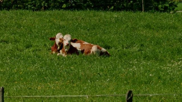 Kühe auf der Wiese im Frühling
