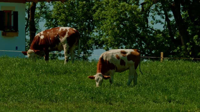 kühe auf der wiese im frühling - pasture stock-videos und b-roll-filmmaterial