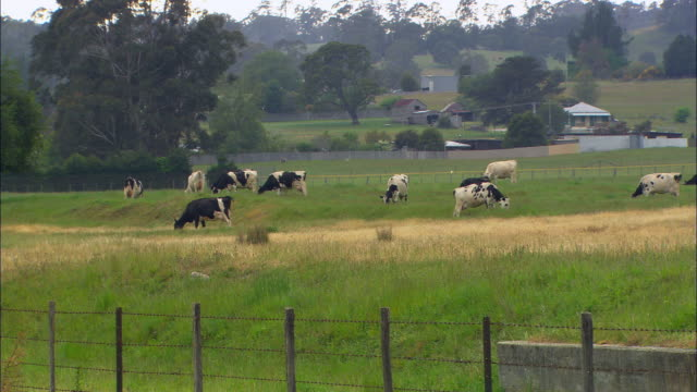 WS, cows grazing on paddock, Australia