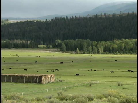 zo, ws, cows grazing on pasture, bridger-teton national forest, wyoming, usa - medium group of animals stock videos & royalty-free footage