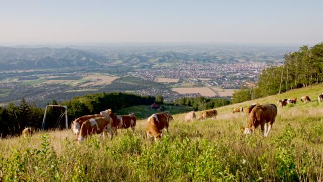 vidéos et rushes de ws ds les bovins paissant sur pâturage - mener un troupeau