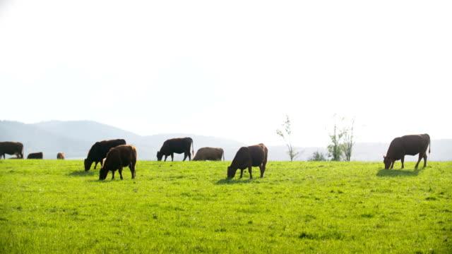 Koeien grazen in de weide