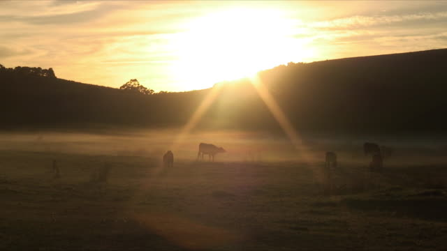 WS Cows grazing on pasture with sunrise behind them, Mimiwhangata, New Zealand