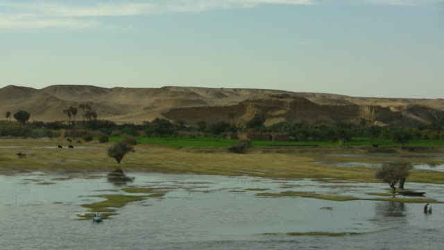 WS, PAN, Cows grazing on riverbank, hills in background, Nile River, Egypt