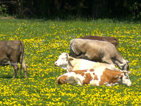 stockvideo's en b-roll-footage met cows grazing on spring meadow - wiese