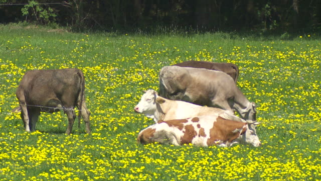 cows grazing on spring meadow - gras stock videos and b-roll footage