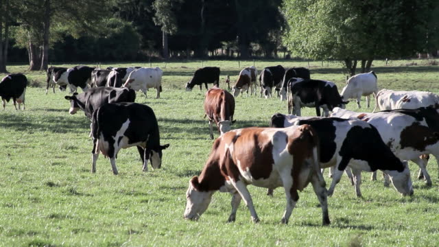 cows group