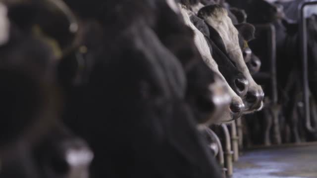 Las vacas cabeza de fila