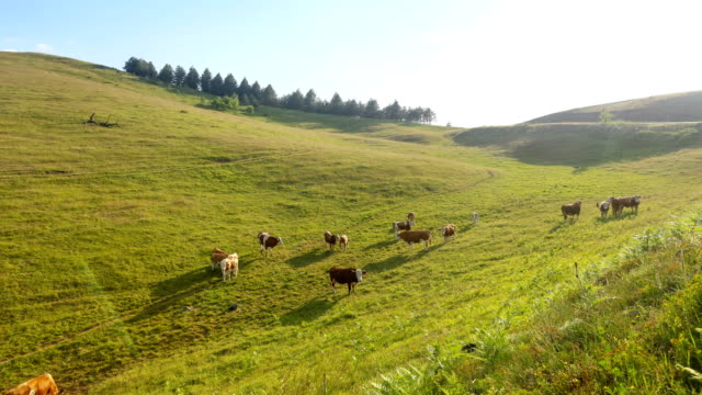 Cows high mountain timelapse