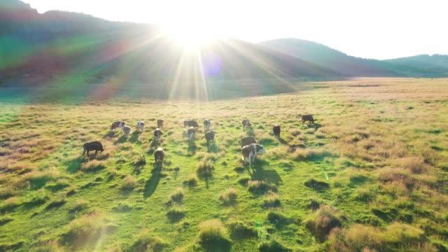 野原の牛、空中写真 - cattle点の映像素材/bロール