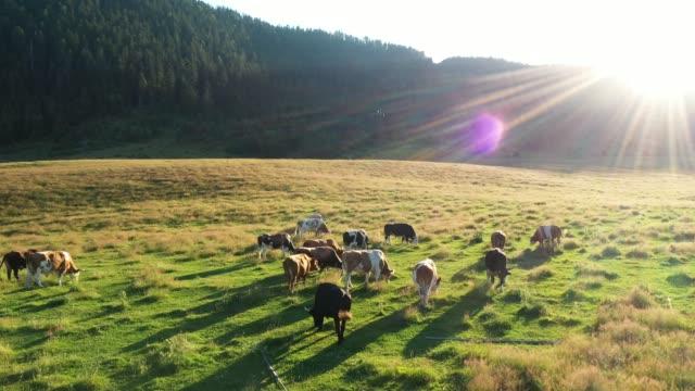 vídeos de stock, filmes e b-roll de vacas em um campo, vista aérea - pasture