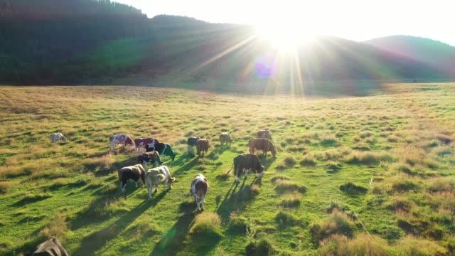 kor i ett fält, flygfoto - beta djurbeteende bildbanksvideor och videomaterial från bakom kulisserna