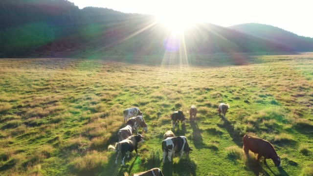 cows in a field, aerial view - pasture stock videos & royalty-free footage