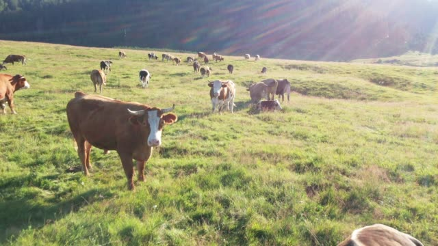 cows in a field, aerial view - livestock stock videos & royalty-free footage