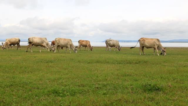 vídeos de stock e filmes b-roll de vacas em um campo - gado holstein friesian