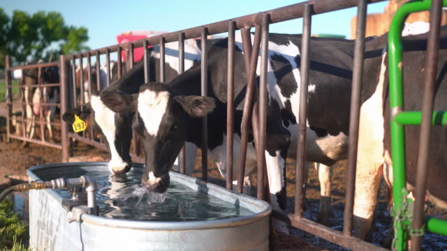 cows in a pen drinking water - milk cow stock videos & royalty-free footage