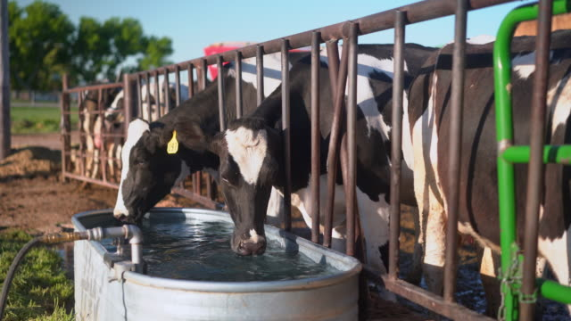 cows in a pen drinking water - livestock stock videos & royalty-free footage