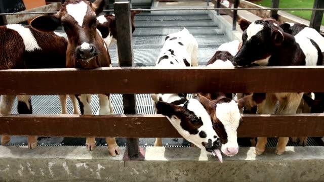 mucche in un robusto - pascolare video stock e b–roll
