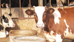 Cows in cattle stable. Domestic animal farming in Thailand, Laos, Myanmar and Vietnam