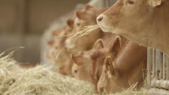vidéos et rushes de cows in farm eating slow motion - vache