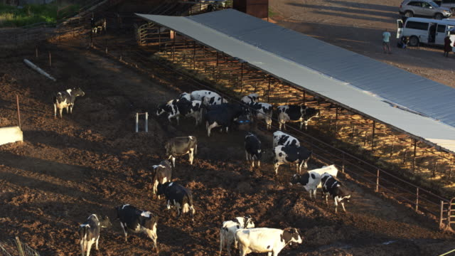 cows in farmyard - drone shot - ranch stock videos & royalty-free footage