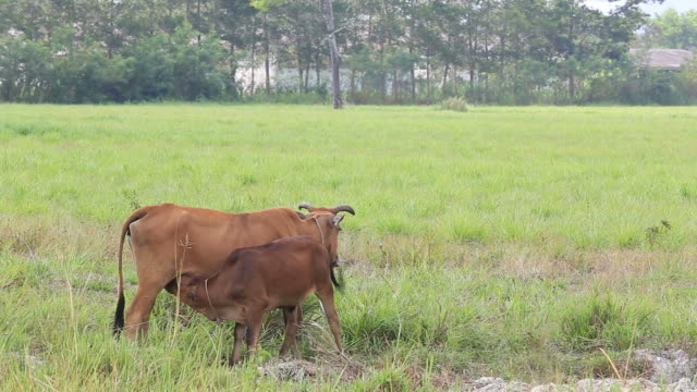kühe in hof - kalbfleisch stock-videos und b-roll-filmmaterial