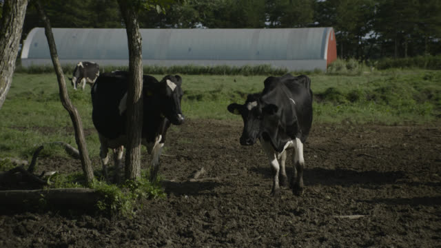 cows in field, japan. - 家畜点の映像素材/bロール