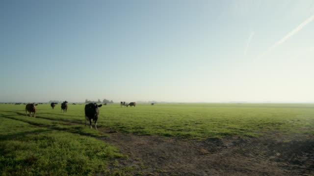 cows in field - pasture stock videos & royalty-free footage