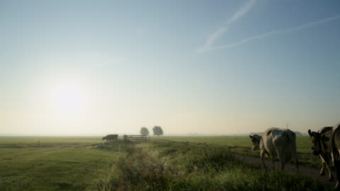cows in field - cow stock videos & royalty-free footage