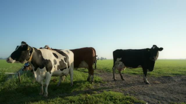 vídeos de stock e filmes b-roll de cows in field - grupo pequeno de animais