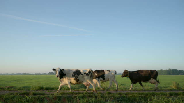 cows in field - livestock stock videos & royalty-free footage